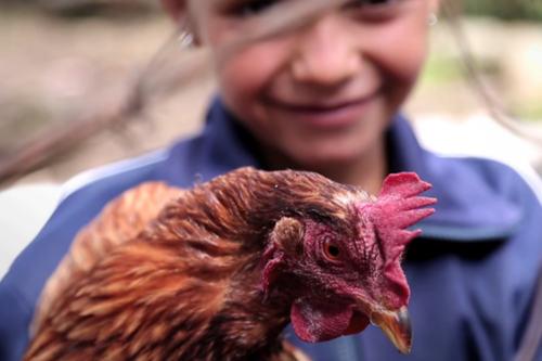 nutre a un nino gallineros de traspatio produccion huevos edomex 2